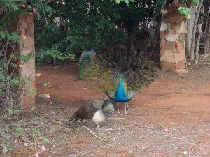 Peacocks at Sandfire