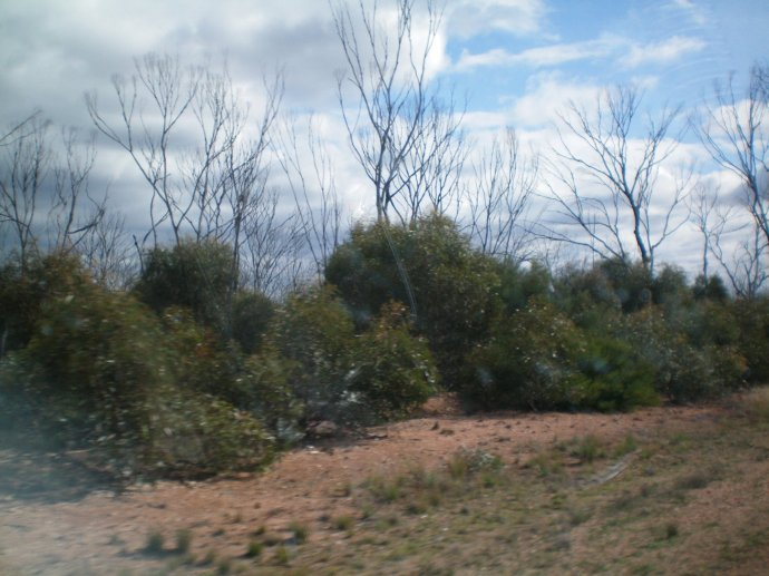 View of Dead trees due to the drought  with new growth due to recent rain