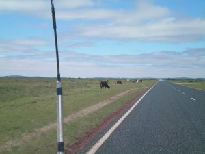 Cattle by the Road