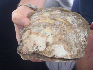 Clean and Healthy Pearl Oyster