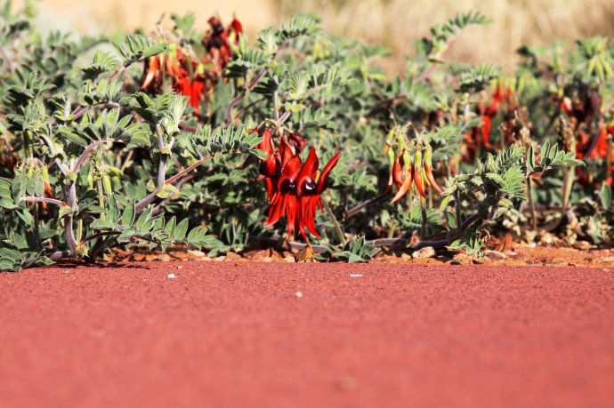 Sturt Desert Pea at Australian Arid Lands Botanical Garden