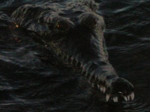 Closeup of George the Freshwater Crocodile
