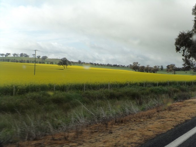 Canola on the way to Boorowa