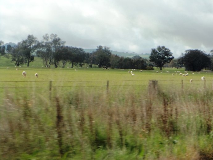Sheep grazing by the Lachlan Valley Highway