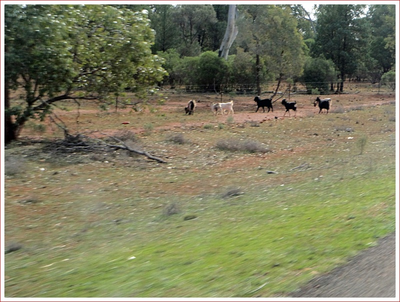 Plenty of Goats on the Roadside