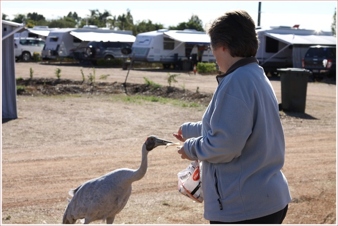 Feeding the Brolgas at the Longreach Caravan Park