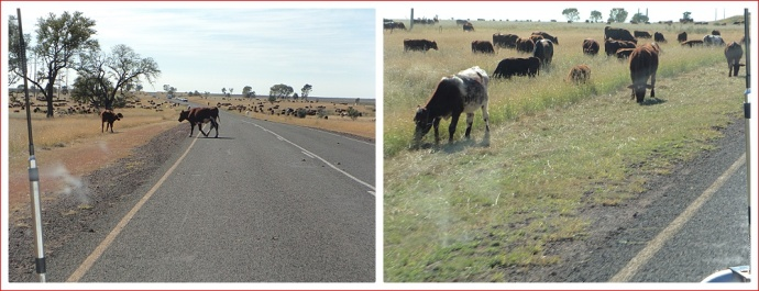 Cattle on the Highway near St George
