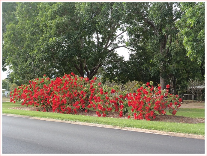 Beautiful Poinsettias by the roadside in Charters Towers