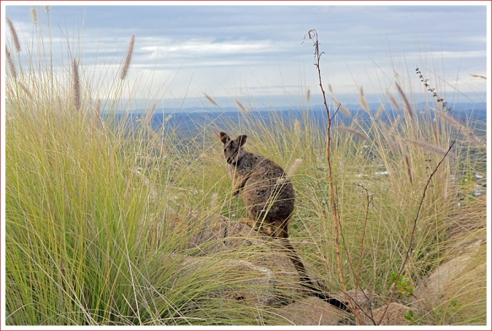 Friendly Rock Wallaby at Towers Hill