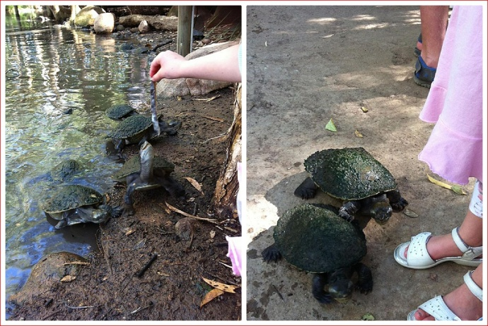 Feeding Turtles at Billabong Sanctuary