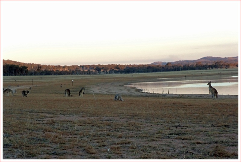 Kangaroos feeding at sunset by Lake Leslie