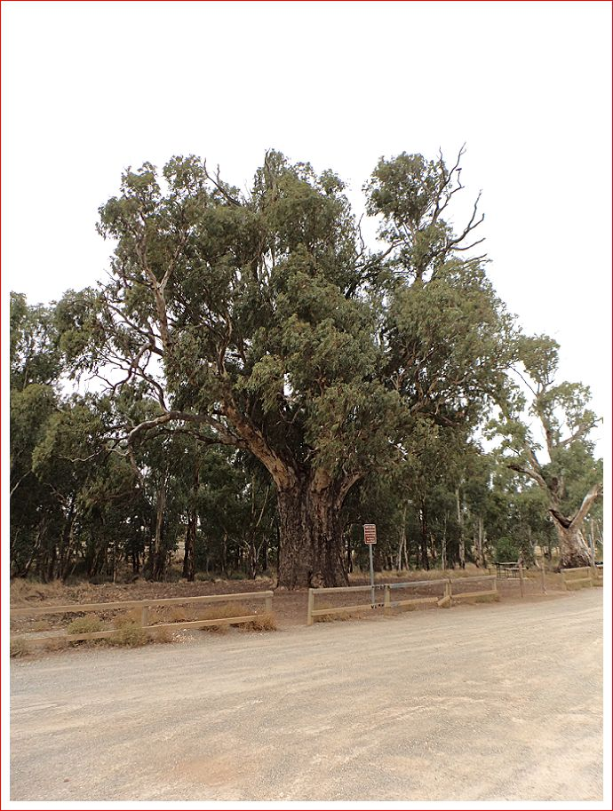 The Giant Gum Tree outside Orroroo.