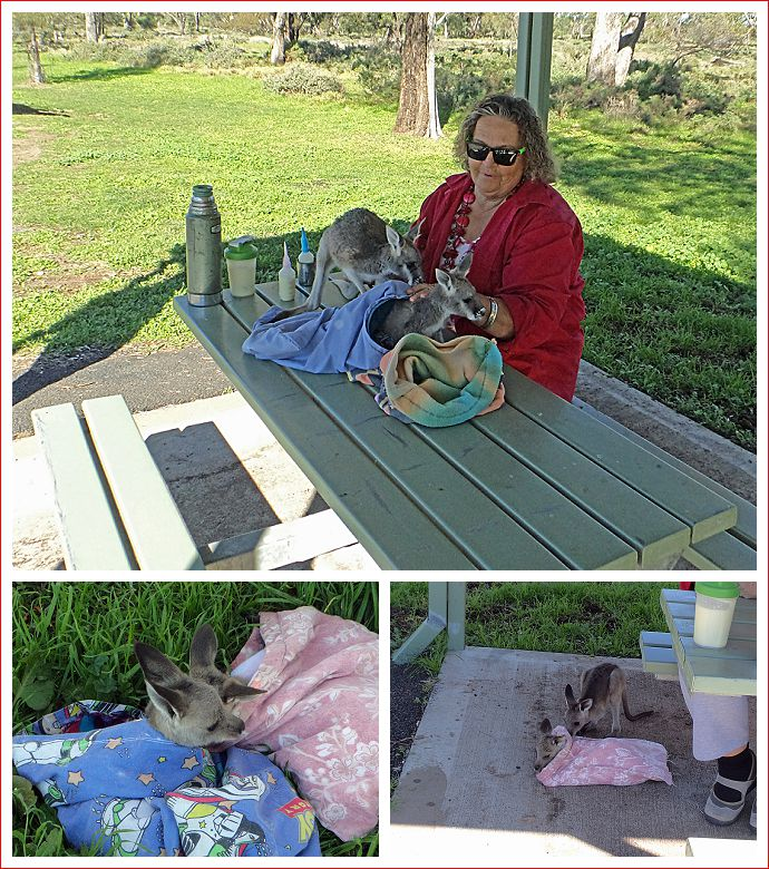 Remarkable lady who cares for orphaned joeys