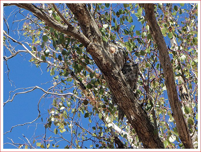 Two sleeping owls are very well camouflaged in the tree